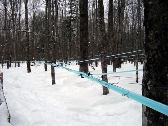 Sap Collection Tubing in Danielson's Sugarbush